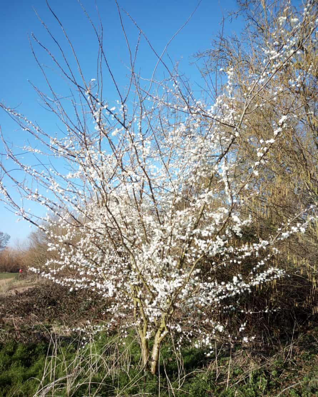 Plum blossom in London