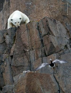 Polar bear clambers towards barnacle goose nest