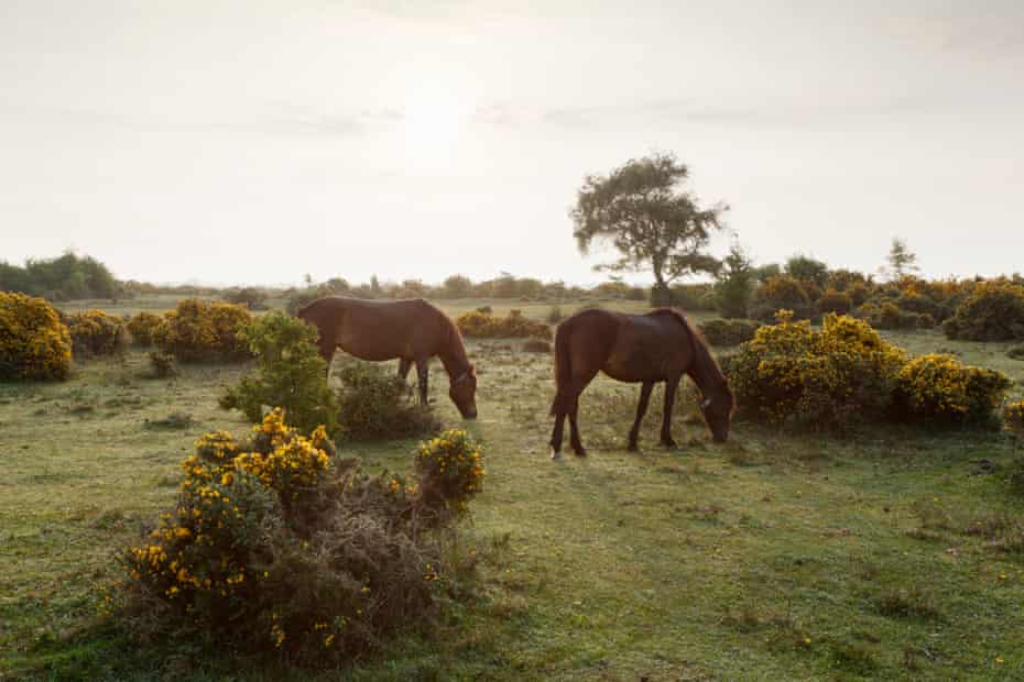 New Forest ponies on Beaulieu Heath. New Forest National Park. Hampshire. UK.