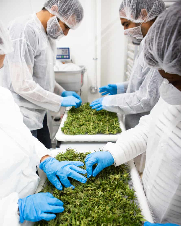 Workers sort marijuana flowers on Jacana's medical cannabis farm in St Ann, Jamaica