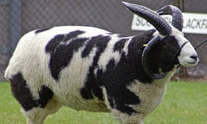 The biblical patriarch Jacob is said to have received speckled and spotted sheep as wages.