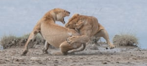 Lions fight by Patrick Nowotny won the Gold prize at the World Nature Photography Awards.