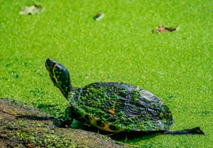 A turtle swims amongst the algae that has infested the lake at Sefton Park, in Liverpool, UK.