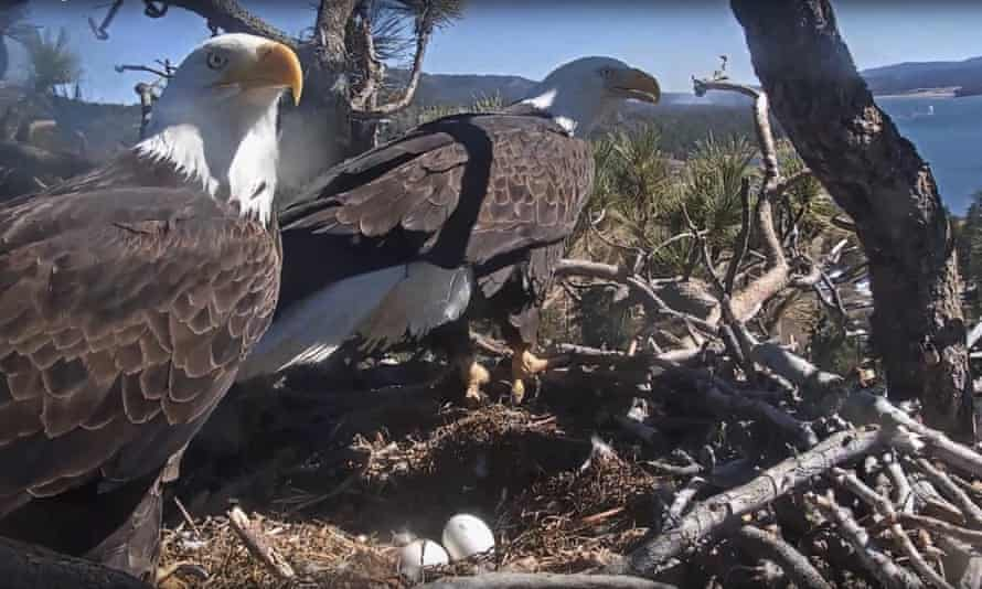 A bald eagle pair guard the eggs in their nest at Big Bear lake in California.