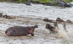 A hippo roars at his invading neighbours in Masai Mara, Kenya, August 2015. A fierce hippo charges a herd of wildebeest attempting to migrate across the Mara River.