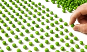 Hand counting rows of peas