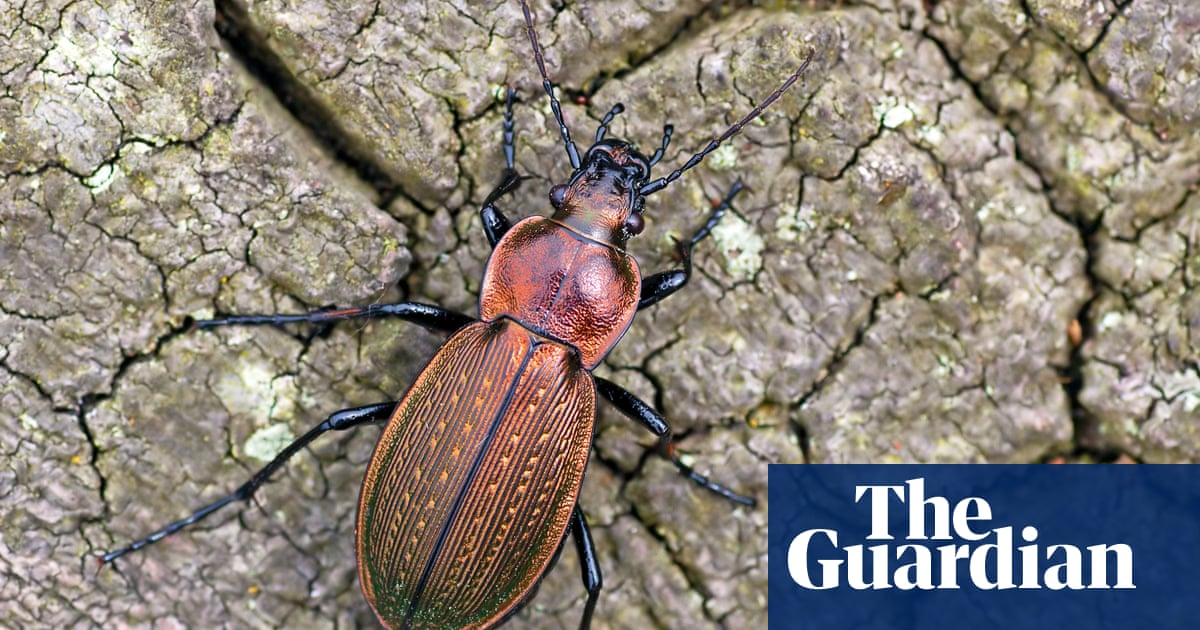 Specieswatch: the necklace ground beetle – an endangered and flightless friend to farmers