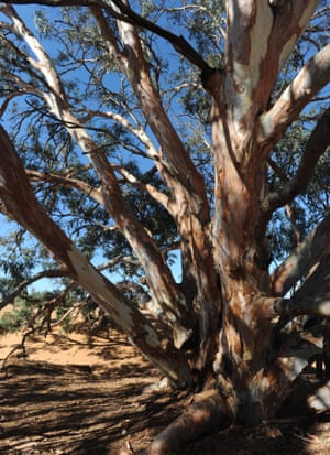 red river gum
