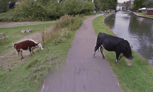 The blurred cow, pictured in Google Street View by the river Cam in Cambridge.