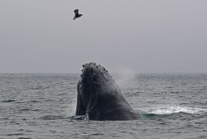 A humpback whale emerges from the waters of Monterey Bay, California, US.