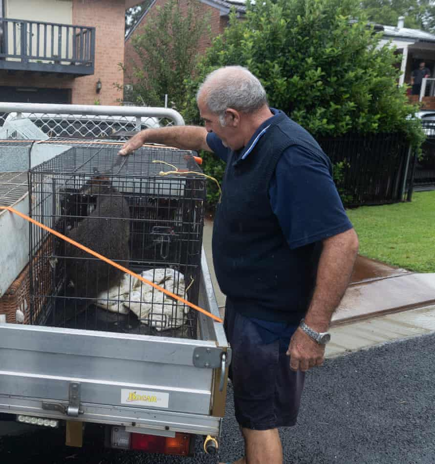 Paul Zammit moving a wallaby to safety on Sunday