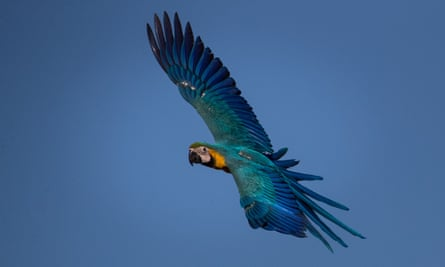 Blue and yellow macaw in Venezuela.