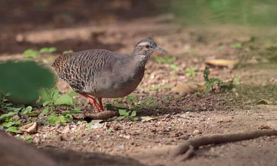 The pale-browed tinamou, whose call could be heard on the video, is not native to Colombia, where the footage was purportedly shot.