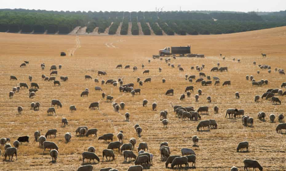 Sheep graze in a dry field near the town of McFarland in California's central valley.