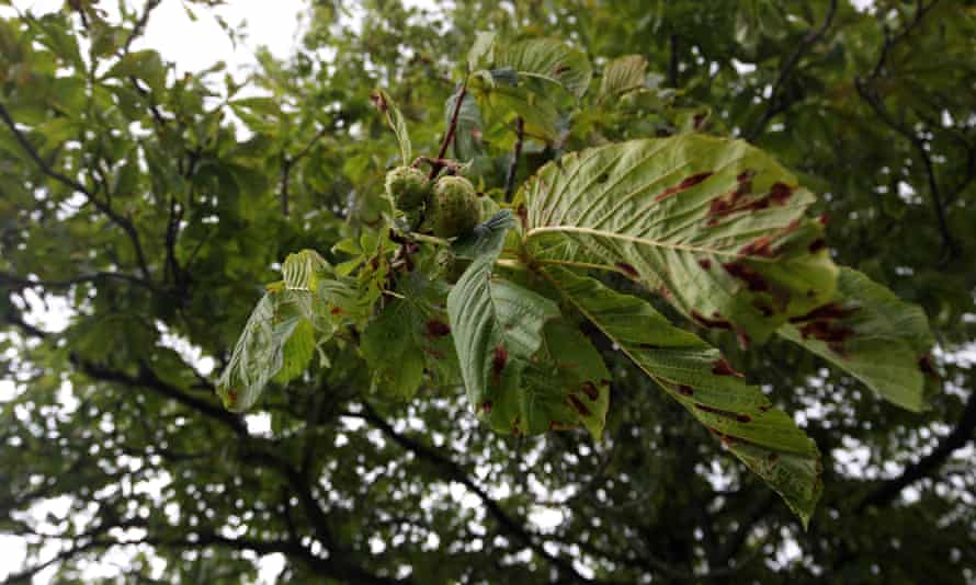 Horse chestnut affected by the leaf miner