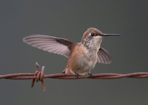 A rufous hummingbird perches on a barbed wire fence along a pasture near Elkton in rural western Oregon. Rufous hummingbirds are wide-ranging, and breed farther north than any other hummingbird.