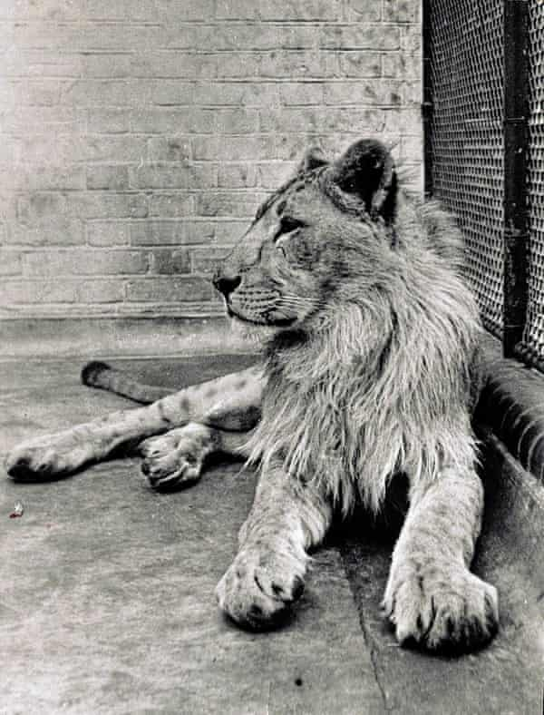 An old lion at the London Zoo, donated by Francis and his family in June 1935.