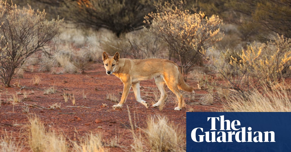 'Dingoes were here first': the landowners who say letting 'wild dogs' live pays dividends – The Guardian