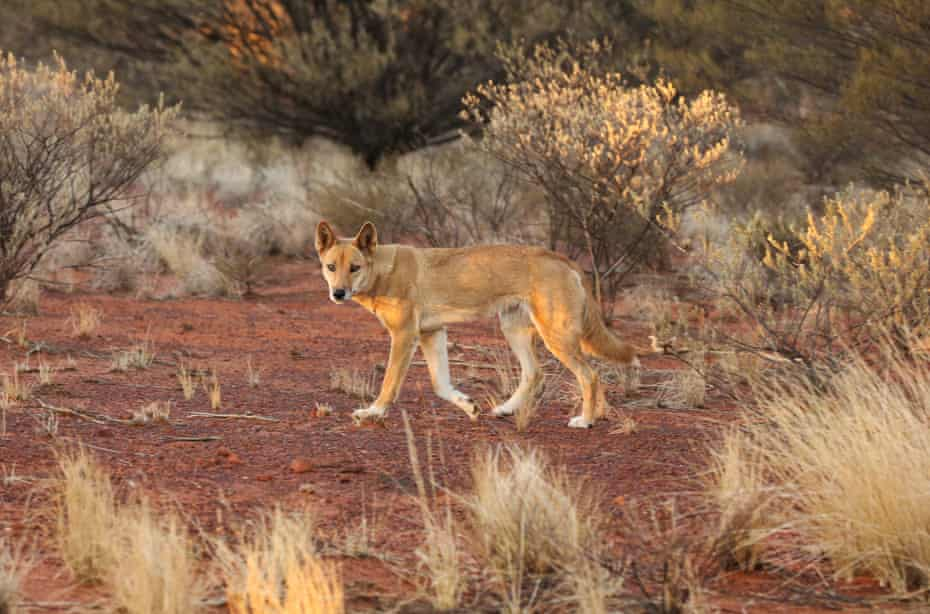 A dingo in the Australian outback