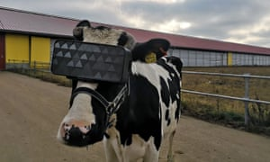 Cow with a VR headset