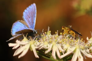 Late season third generation male common blue butterfly and golden dung fly, Milton Keynes, England, UK