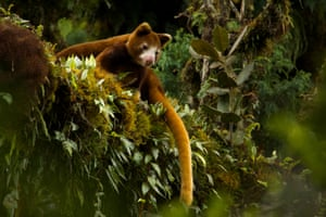 Korindo's alleged deforestation of pristine woodland in Papua province also threatens to destroy the last sanctuary the tree kangaroo.
