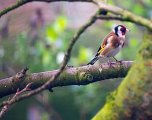 A goldfinch in a cherry tree in Cheshire, England
