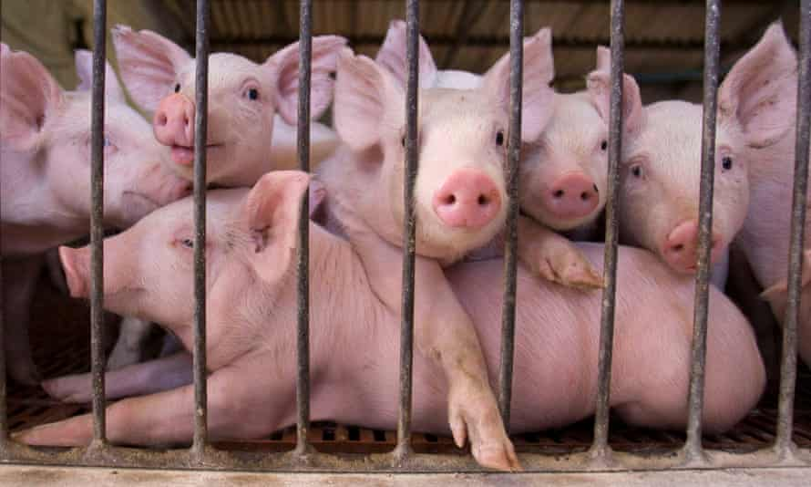 Piglets at a farm in near Buenos Aires, Argentina, that captures methane emissions from pig manure and uses it to produce electricity or biogas.
