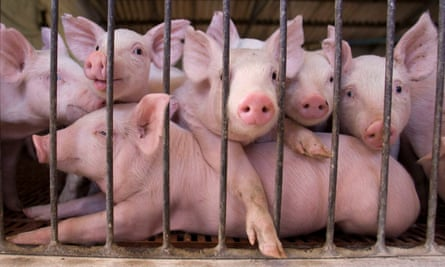 About half a dozen pink piglets push up against bars; one lies across the whole frame, while the others rest their heads and trotters on its back.