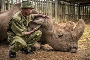 Zacharia Mutai, head keeper at  at Ol Pejeta Conservancy, Kenya, with Sudan, the last male northern white rhino, moments before he died