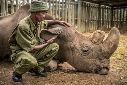 Zacharia Mutai, head keeper at  at Ol Pejeta Conservancy, Kenya, with Sudan, the last male northern white rhino, moments before he died