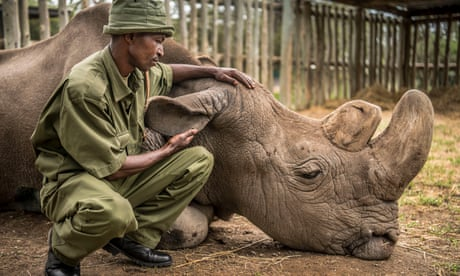 'We held a memorial service': the keeper of the last male northern white rhino