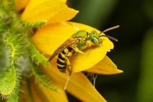 A male Bicolored Striped-Sweat Bee (Agapostemon virescens)
