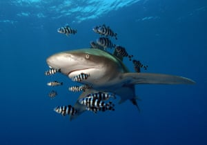 An oceanic whitetip shark with pilot fish near the Daedalus reef off Egypt