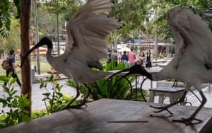 Ibises hop gleefully from table to table in a cafe in Sydney, waving their grotesque wings above their bald heads