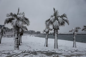 Palm trees are covered in snow.
