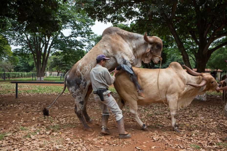 a collector collecting semen at ABS PecPlan a leading international laboratory of bovine genetics. Uberaba, Brazil, 2015