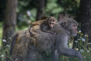 A monkey carries an infant on her back as she searches for food in the forest of Drang, northwest of Srinagar, India.