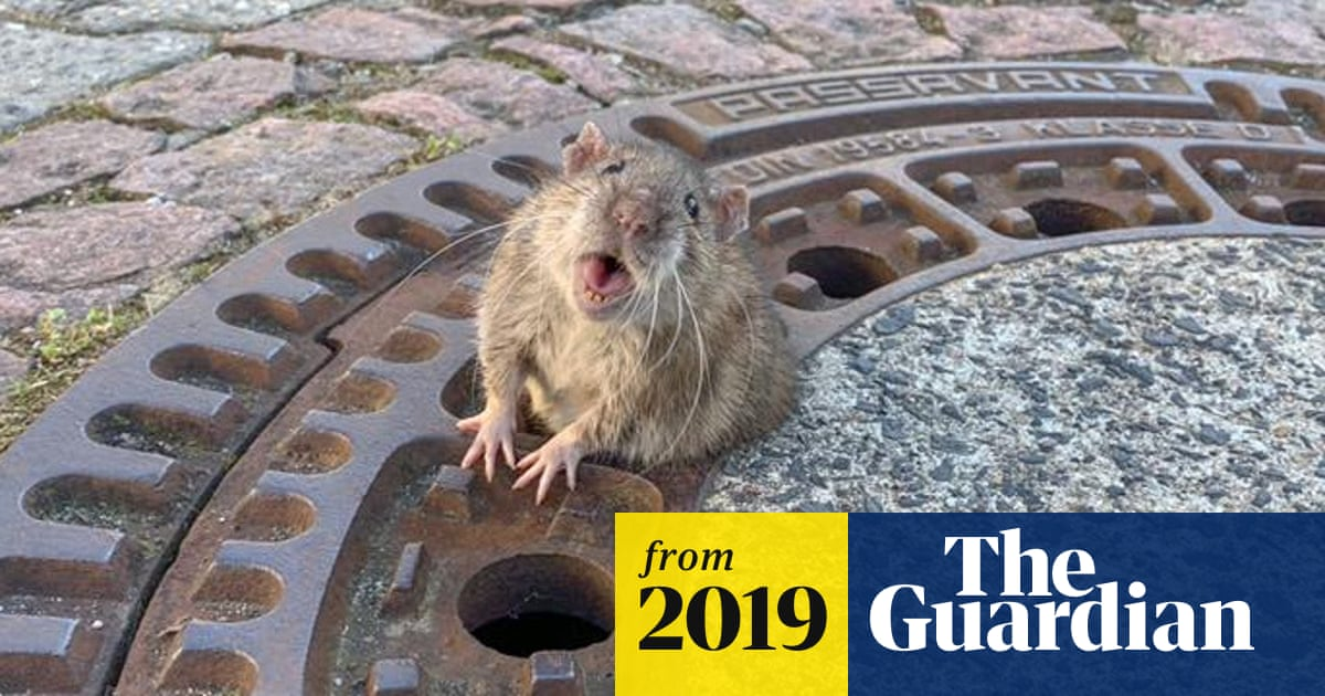 Fat Rat Stuck In Manhole Rescued By Firefighters In Germany