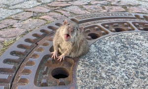 A fat rat stuck in a sewer grate in Germany. It took about eight firefighters and an animal expert to rescue the rodent from the drain.