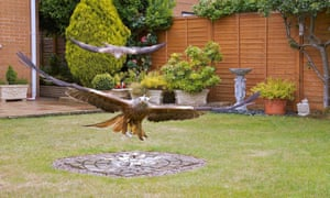 Rare red kites have made a return to British towns thanks to people feeding them