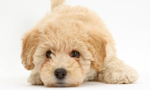 Poochon puppy, Bichon Frise cross Poodle, age 6 weeks