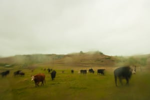 Cows waiting for their calves to be released from the branding pit as a heavy rain falls.