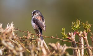 A long-tailed tit in a hedgerow