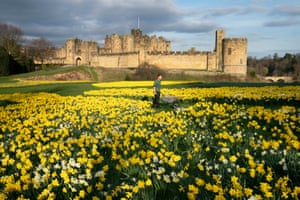 Alnwick, EnglandGardner Rob Ternent, 31, pushes his wheelbarrow through a sea of daffodils at Alnwick Castle in Northumberland.