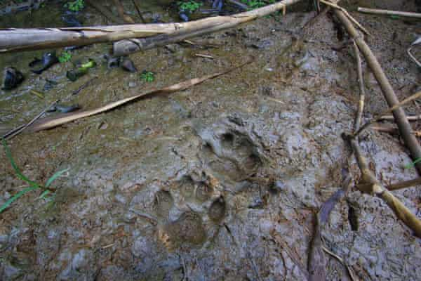 Pugmarks from the elusive fishing cat, on the banks of Chilika Lake, in Odisha, India.
