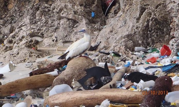 Some species of albatross and shearwaters seem to be the most prone to eating plastic pieces. Photograph: Britta Denise Hadety/CSIRO/AP