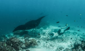 The author free dives with a reef manta at Dayan where the team discovered a previously unknown manta cleaning station