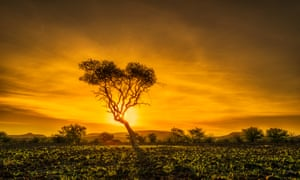 An acacia tree at sunset in Namibia, Africa, on Planet Earth II