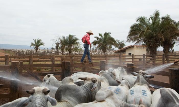 The million dollar cow: high-end farming in Brazil – photo essay